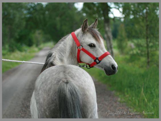 استاندارد نژاد , اسب کاسپین