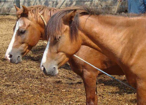 اسب کاسپین ، caspian horse , iranian horse