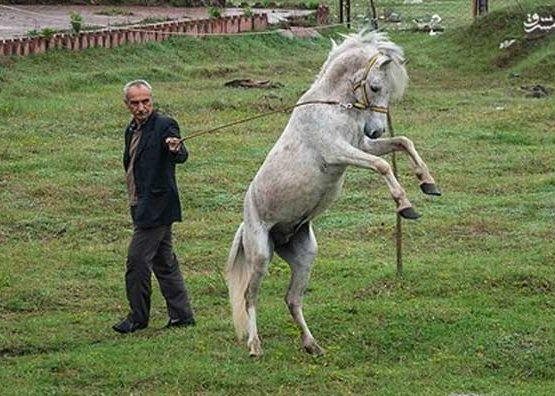 Caspian horse Semen