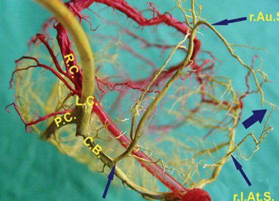 گره سینوسی دهلیزی, cardiac muscle