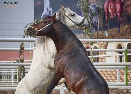 Caspian stallion